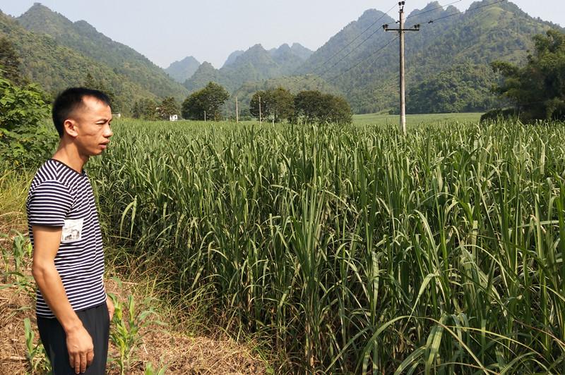 """人大代表创办甘蔗""""双高""""基地"""