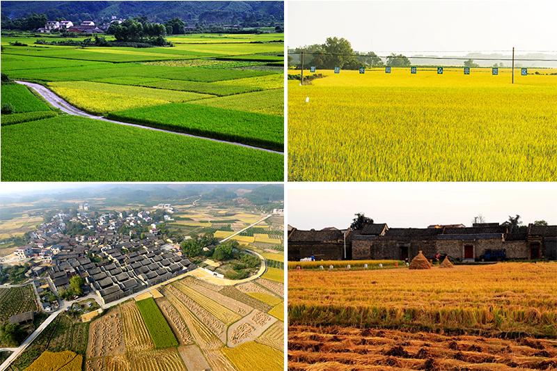 永福縣羅錦鎮富硒水稻豐收