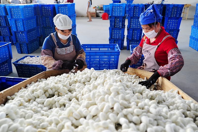 忻城县桑蚕产业掠影